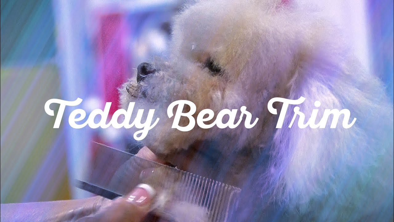 Toy Poodle In A Teddy Bear Trim Dog Grooming By Diane
