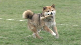 殺処分を免れた柴犬「愛ちゃん」警察犬をめざす 岡山で警察嘱託犬の審査会