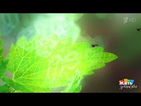 Жить здорово! Растения против комаров.(02.08.2017)
