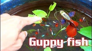 CÁCH NUÔI CÁ 7 MÀU ÍT TỐN CÔNG CHĂM SÓC HIỆU QUẢ |Guppy fish