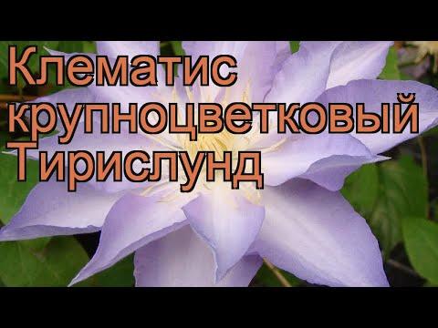 Клематис крупноцветковый Тирислунд (thyrislund) 🌿 обзор: как сажать, рассада клематиса Тирислунд