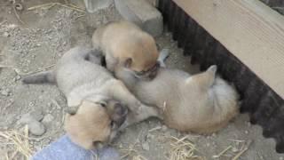 生後3週になった山陰柴犬の子犬3兄妹です。