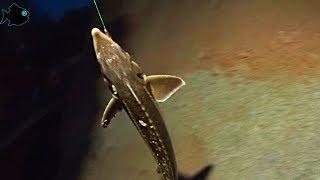 Подводная Якутия #5 Ловля осетра на донку