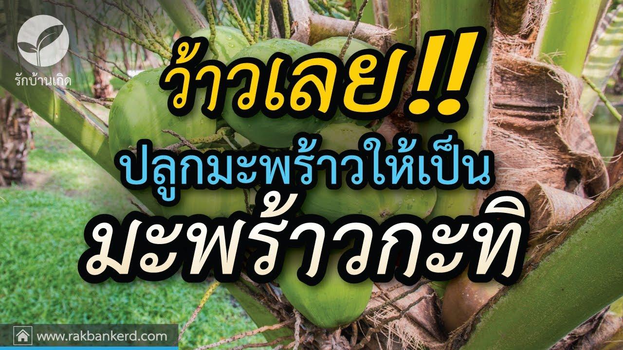 การปลูกมะพร้าวให้เป็นมะพร้าวกะทิ