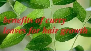 benefits of curry leaves for hair growth grow long hair curry leaves for hair growth