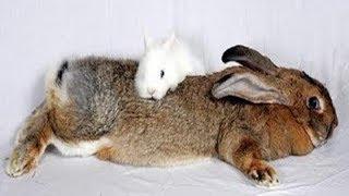 Кролики ВЕЛИКАНЫ. Разведение кроликов - с чего начать? Каких разводить.