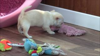 Chihuahua Puppies 13th August 2016