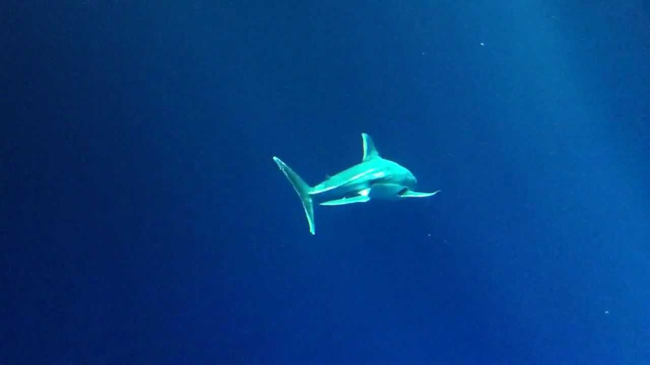 Great White Shark @ Monterey Bay Aquarium - YouTube