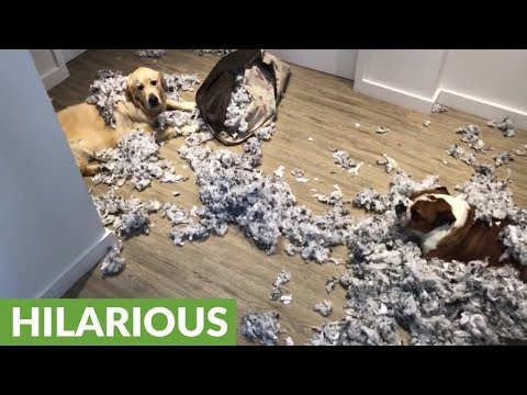 Guilty dogs totally decimate their bed