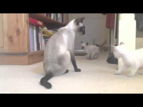 Bluebelle's traditional Siamese kittens exploring the hall