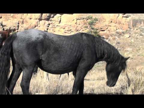 I.R.A.M. Sponsor Mustang, Prairie Lark