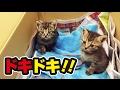 1日目。ボクたちふたごの子猫がここのいえの子になった日!〜Kitten came to the house!〜