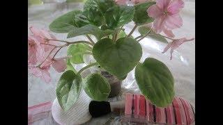 Как очистить листья фиалки от пыли ?-  3  простых способа