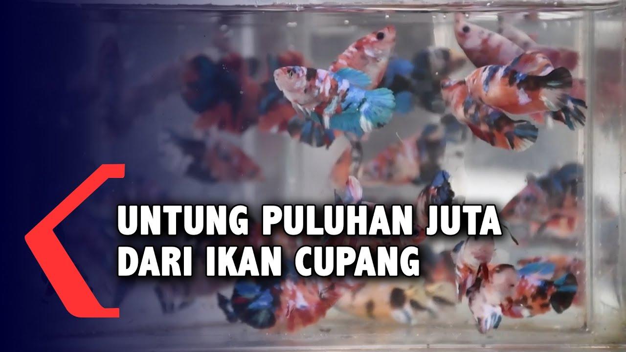 Ikan Cupang Hasilkan Untung Hingga Puluhan Juta Rupiah Youtube