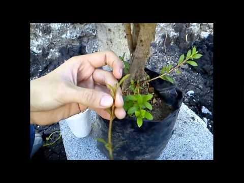 Como reproducir Azaleas