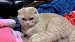 【PUK】猫 虐待の現場!衝撃・怒るプークちゃん【スコティッシュフォールド】
