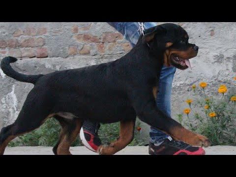 KIVI HAUSE OF GEHLAUT || ROTTWEILER PUPPY || KCI || THE KENNEL CLUB OF INDIA || 2018 ||
