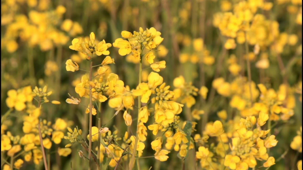 Full Hd Video Background Honey Bee In The Yellow Flower Mustard