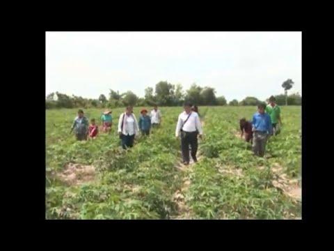 Technique of Cassava planting/ Cassava introduction 2018/MAFF/