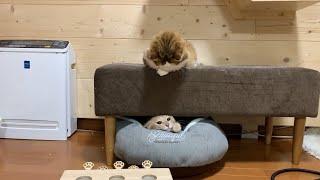 ちょっかいを出して怒られる猫