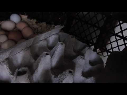 FOLLUKTAN YUMURTA TOPLAMA !!! #1 - Kanalımız için özel yumurta kutusu :D & HOROZUMUZU SATTIK !!!