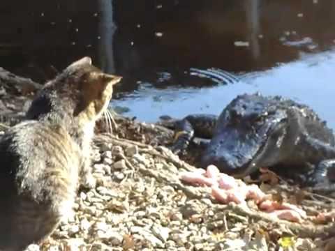 """فيديو / قط """"شجاع"""" يلاكم تمساح جائع ويهزمه"""