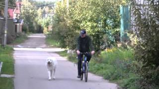 Обучение собаки бегу рядом с велосипедом. http://www.dogclass.ru/