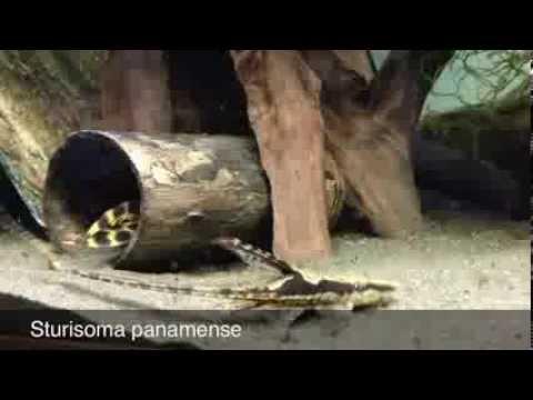 Sturisoma Panamense, Royal Whiptail Catfish