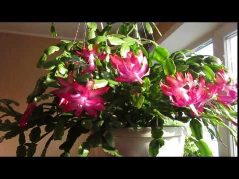 MDG 4443 мои цветы зацвели ДЕКАБРИСТ