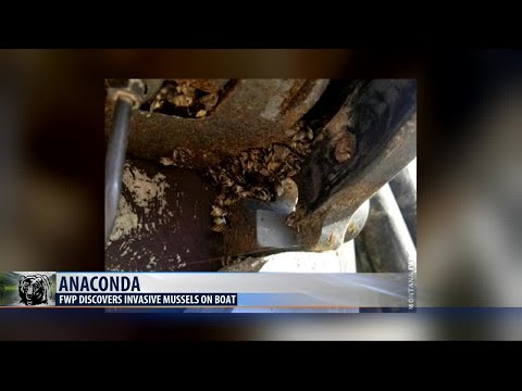 Boat with zebra mussels found in Anaconda