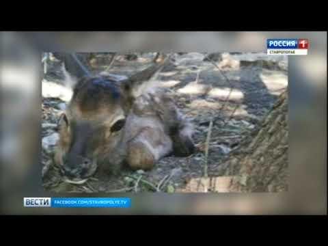 В невинномысском парке родился олененок