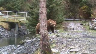 Brown (Grizzly) Bears Up Close