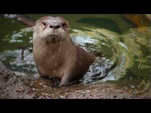 Baby river otters don't know how to swim when they're born! In this April 2013 video from the Oregon Zoo, meet Molalla the Baby River Ott…