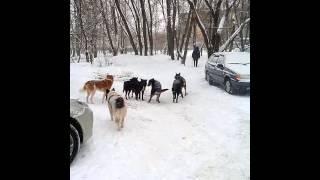 Стая собак pack of dogs