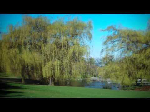 Black Willow Trees For Sale $2.50 at Tn Tree Nursery Online