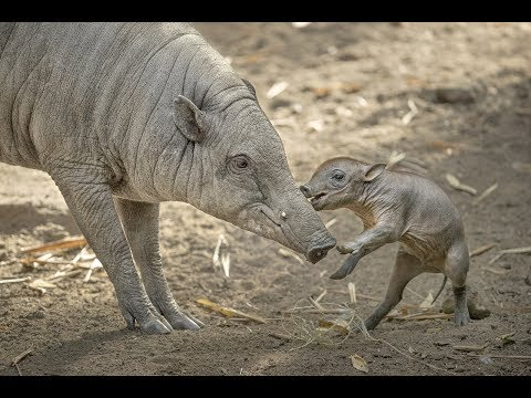 Babirusa Piglet Plays with Mom at the San Diego Zoo