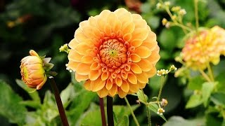 Dahlia plant care for more FLOWERS !! How to make Dahlia plant to produce more flower - English
