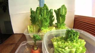 Growing Romaine 1 week Time Lapse
