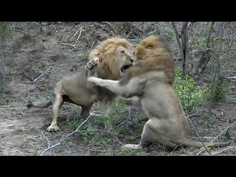 Sad days for the Nkuhuma lion cubs.