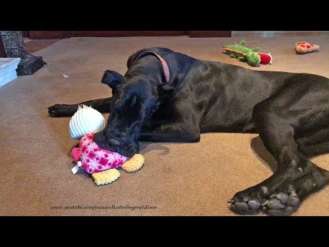 Funny Great Dane Puppy Loves Playing With Her Toys