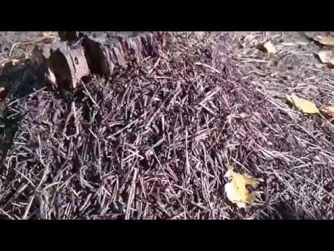 Муравьи готовили к зиме свой муравейник они заменили 55