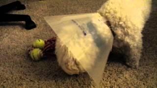 Dog Wearing Cone Eats Green Bean