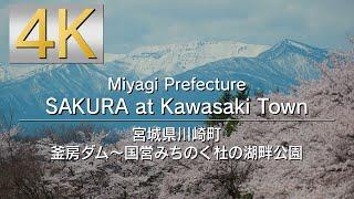 4K SAKURA at Kawasaki Town / Miyagi Prefecture  宮城県川崎町 釜房ダム~国営みちのく杜の湖畔公園