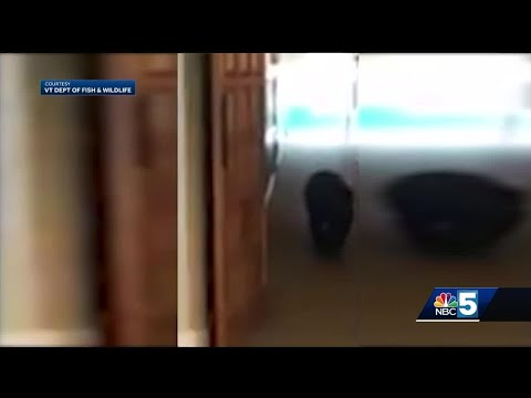 Bombarded By Bears: Vermont Run-ins On The Rise