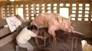 Manejo reproductivo en cerdos en el marco de FERICERDO 2011