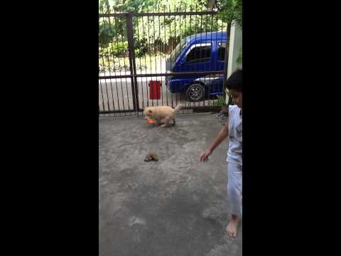 Chow Chow Puppy Playing With Toys