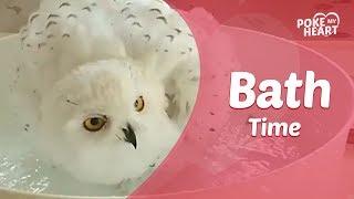 Snowy White Owl Takes Bath With Spray Bottle
