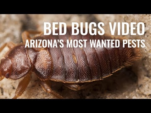 Bed Bugs AZ most wanted pest #6