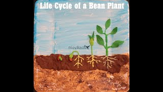 Life cycle of a bean plant: Kids science project for school