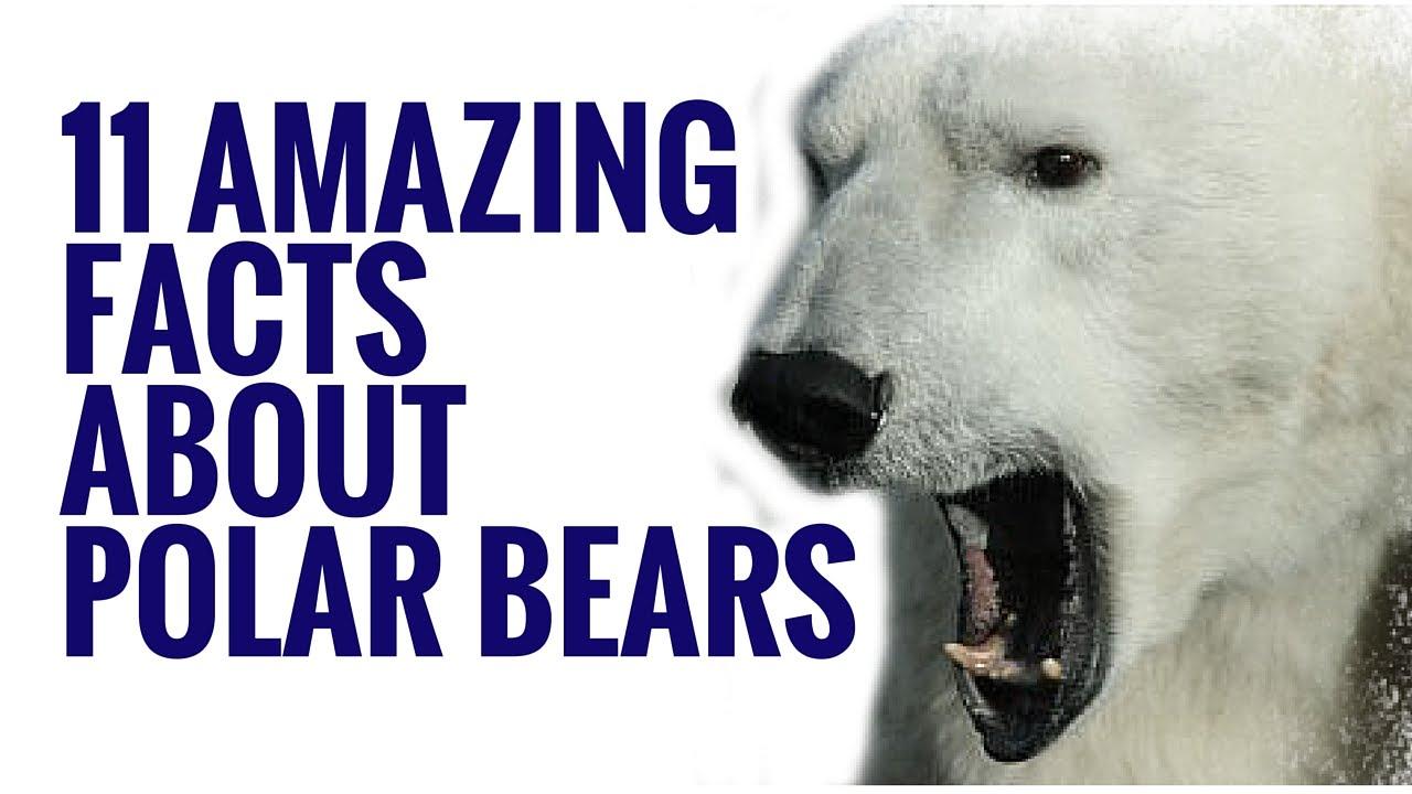 The main characteristics of the species of the polar bear